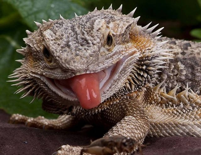 Животные показывают язык