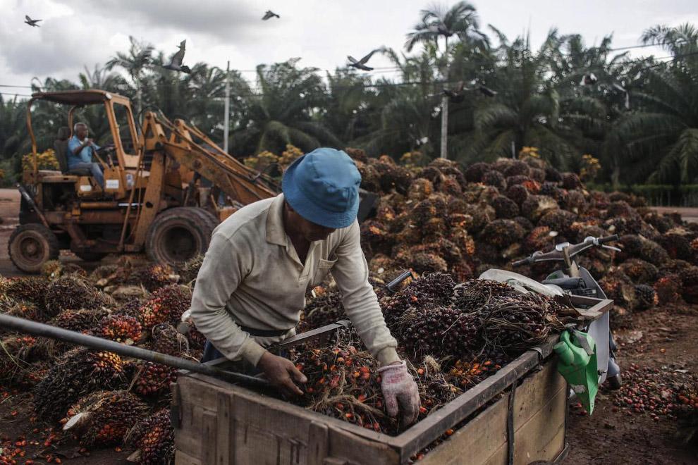 С чего делают пальмовое масло