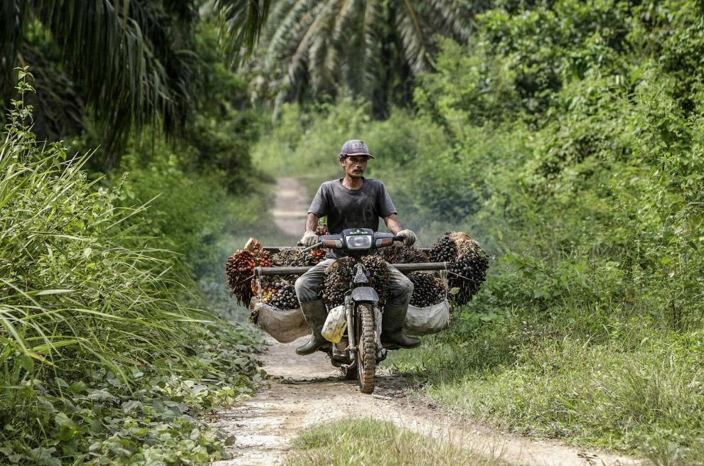 Пальмовое масло как делают