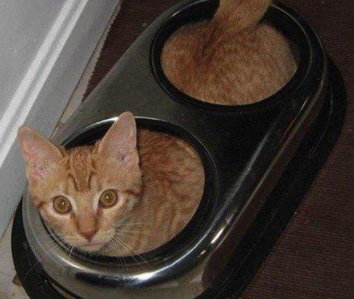 Кошки, которые разучились правильно есть