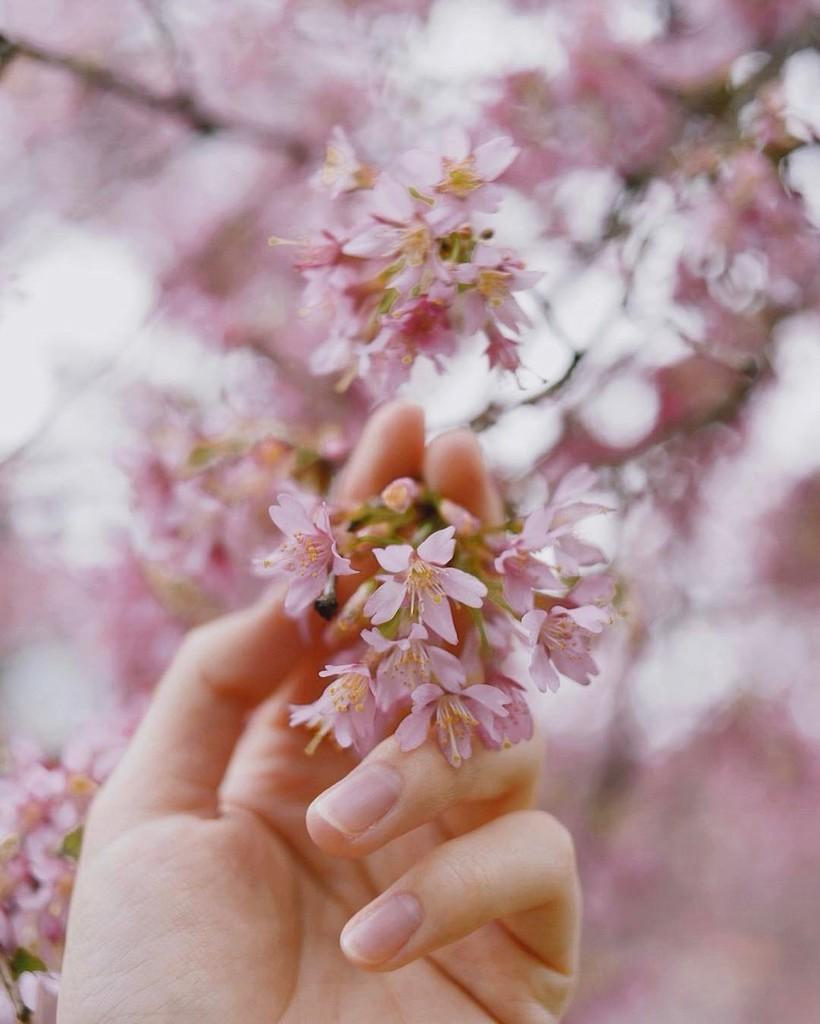 Фото красивые сакуры