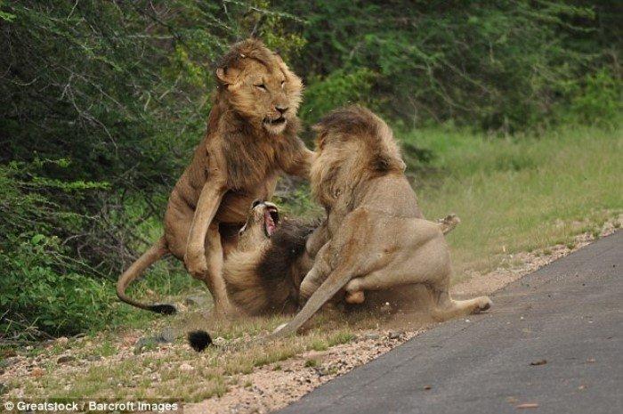 Ожесточенная схватка трех львов в национальном парке Крюгера