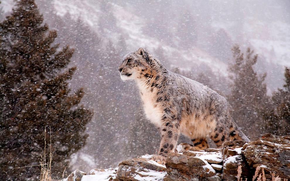 Любопытные факты о таинственном снежном барсе