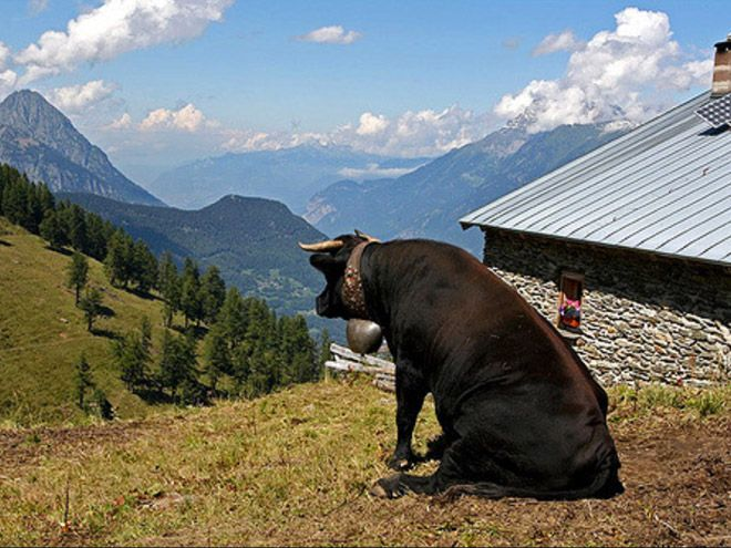 Как выглядят коровы, когда решают посидеть на травке