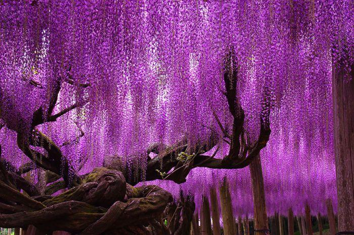 Фестиваль цветущей глицинии Great Westeria в Японии
