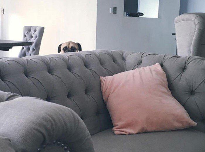 Эта собака постоянно шпионит за своим хозяином