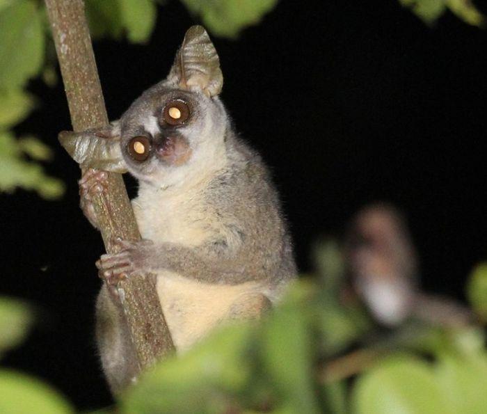 В Африке найден новый вид приматов