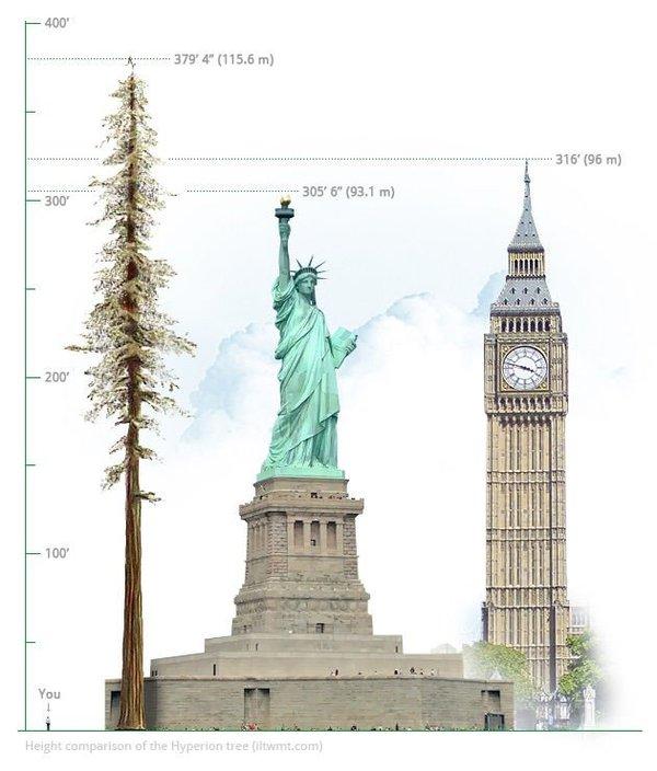 Шишки самого высокого дерева на Земле