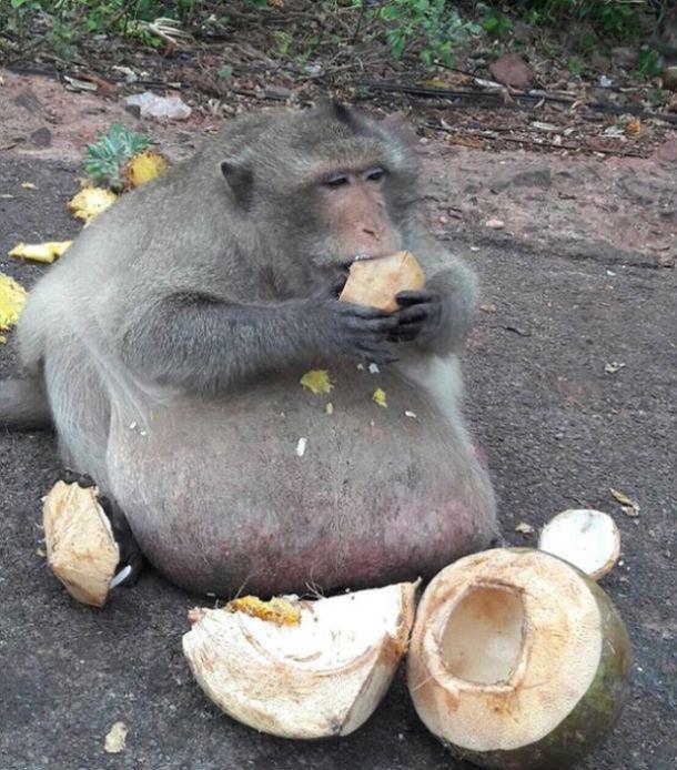 Самую толстую макаку Бангкока посадят на диету