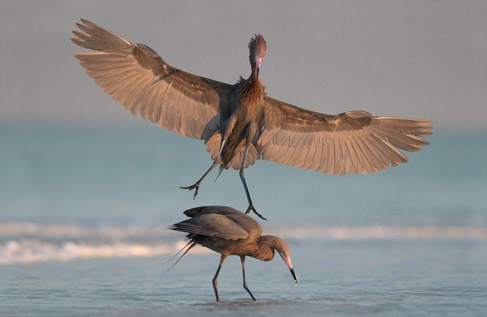 Вероломство и коварство среди птиц