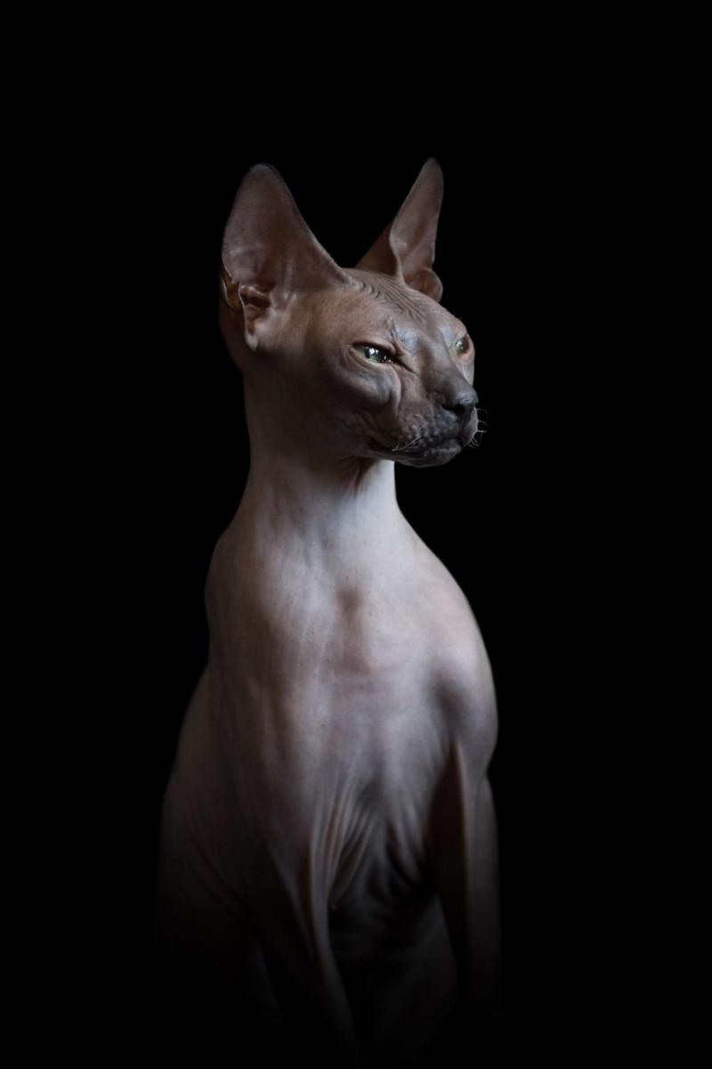 Завораживающая красота бесшёрстных кошек
