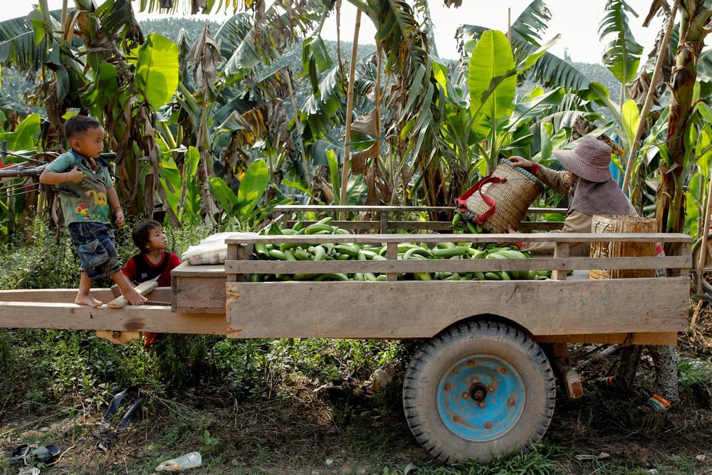 Китайский банановый бум – благословение и проклятие для Лаоса
