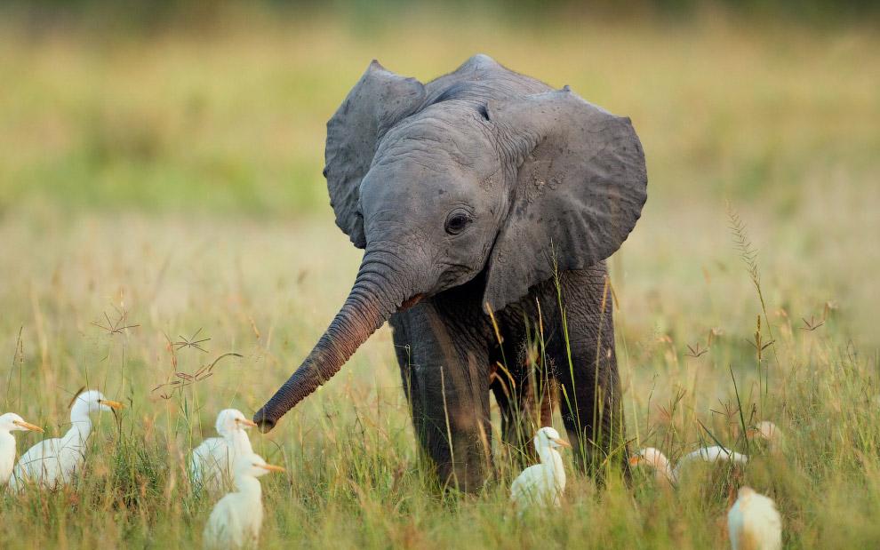 Слонята: милые маленькие гиганты