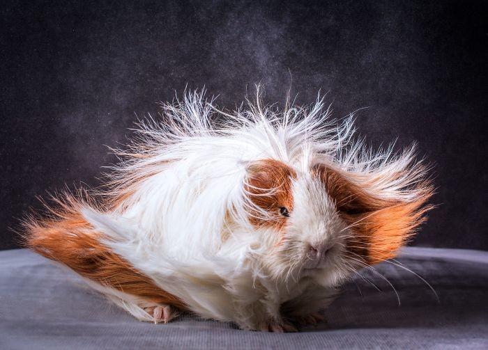 Милые свинки и их прически