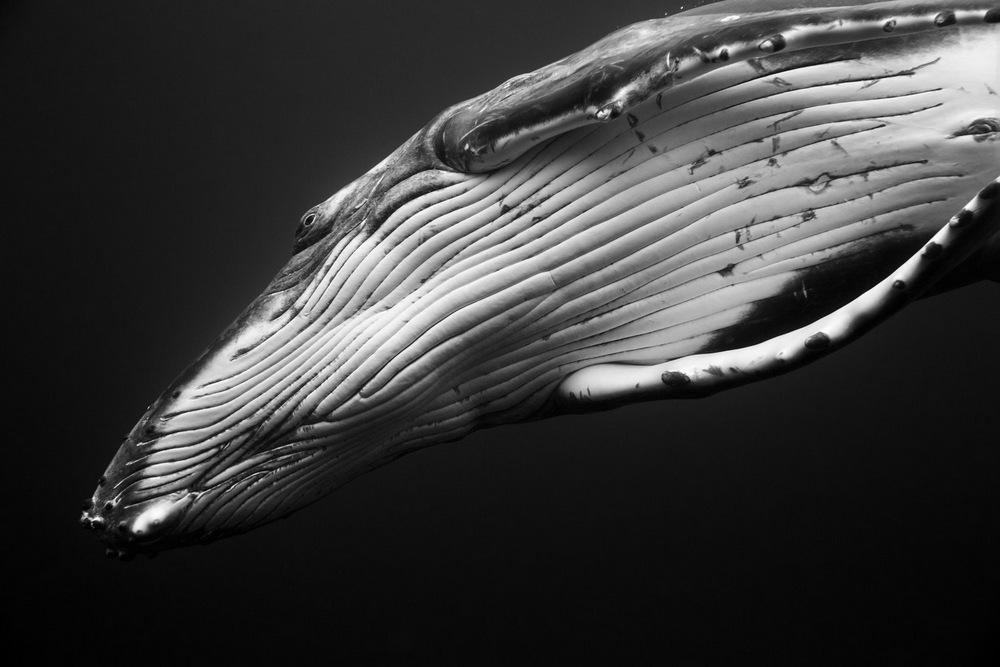 Поразительные фотографии горбатых китов
