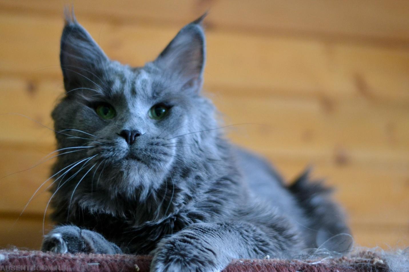 5 самых крупных пород котов