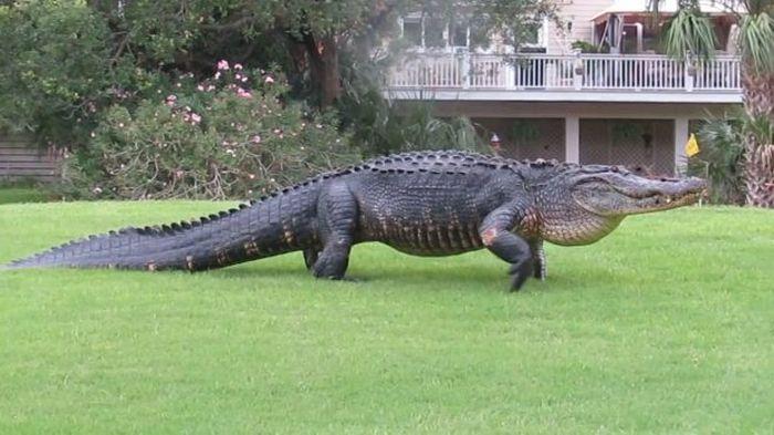 Аллигатор вышел на поле для гольфа