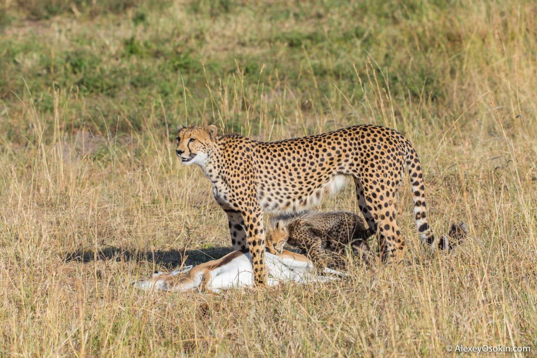 Один день из жизни гепардов в объективе