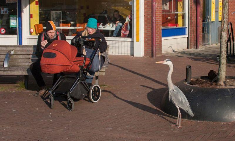 Городские цапли Амстердама