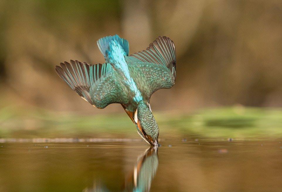 Снимки ныряющего зимородка