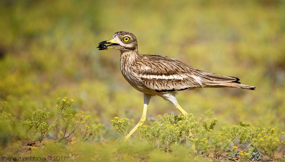 Авдотка — необычная птица