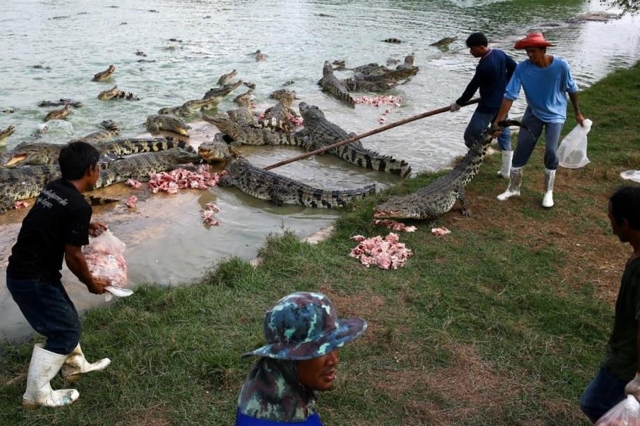 Производство кожа крокодила 22