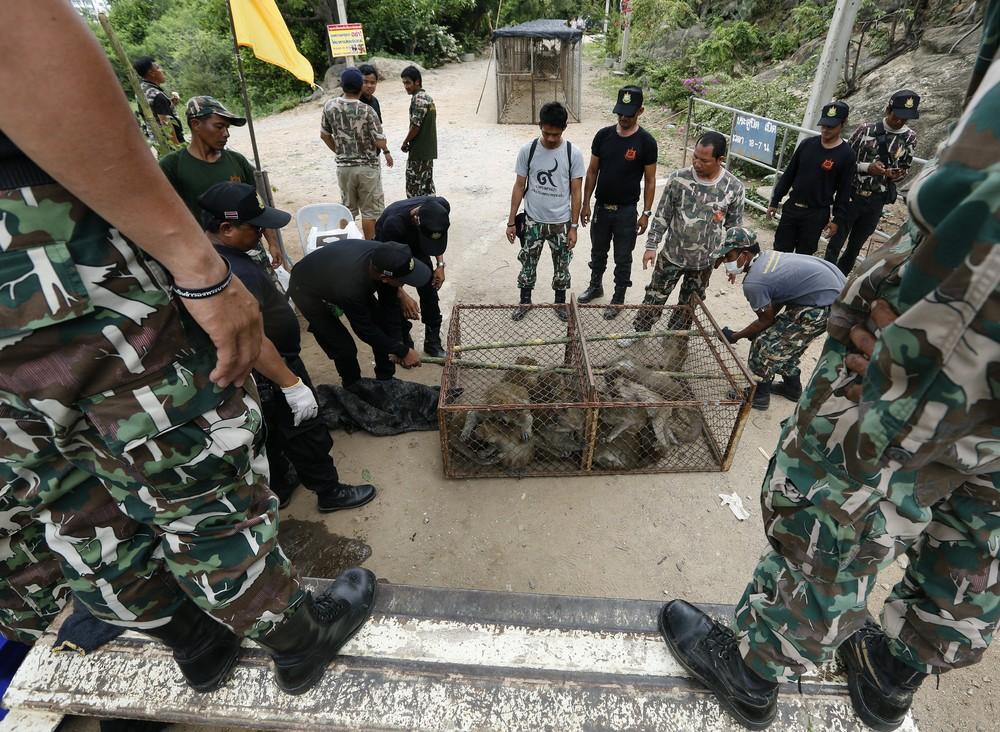 Повальная стерилизация обезьян в Таиланде