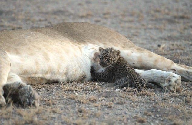 Кормилицей маленького леопарда стала львица