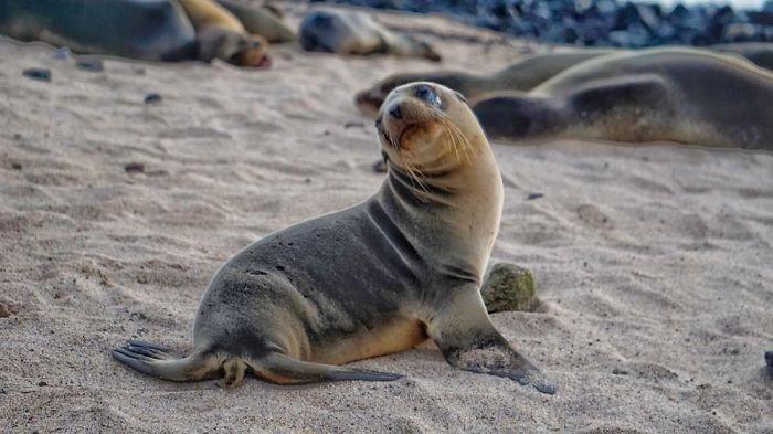 Милые детёныши морских львов