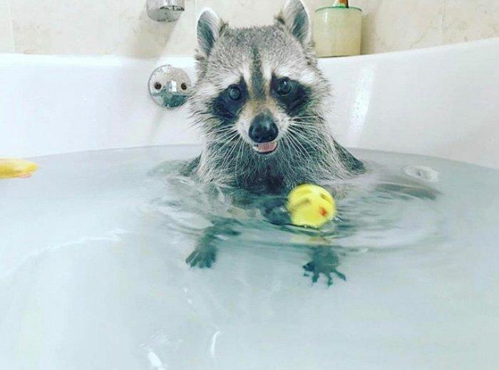 Еноты - самые милые животные в мире