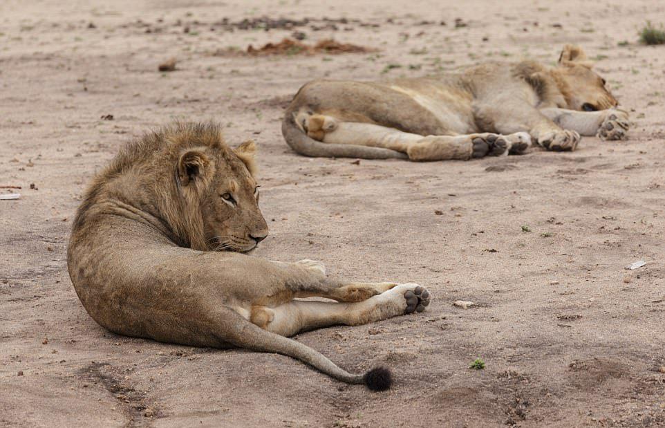 Львы завалили буйвола