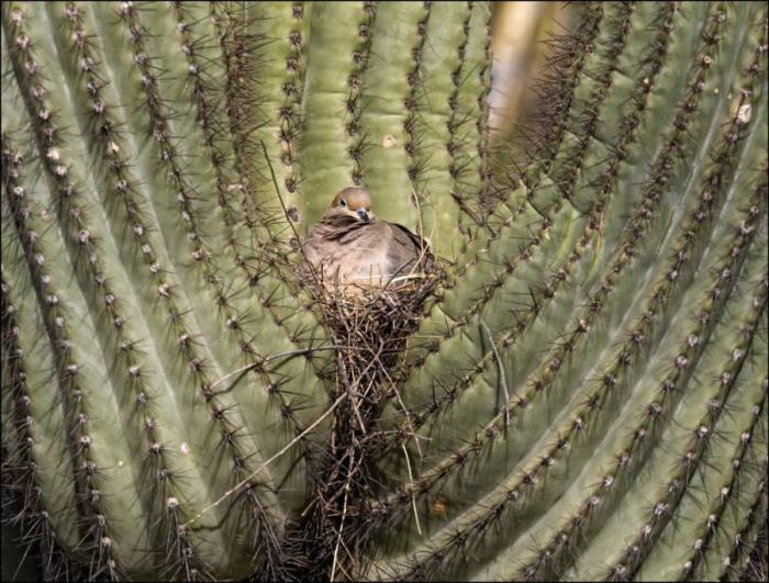 Кто живет в кактусе Сагуаро