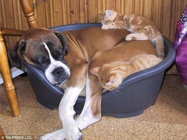Коты используют собак вместо подушки
