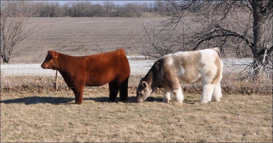 Плюшевые коровы из Айовы