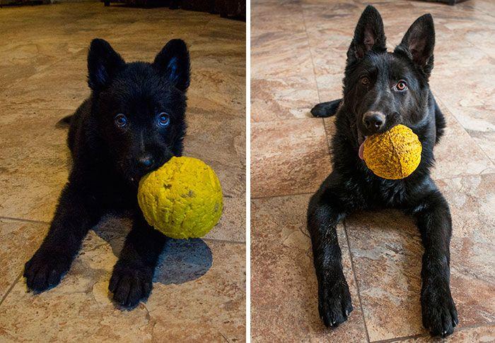 Взрослые домашние животные любят свои игрушки из детства