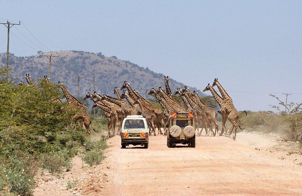 30 жирафов переходят дорогу