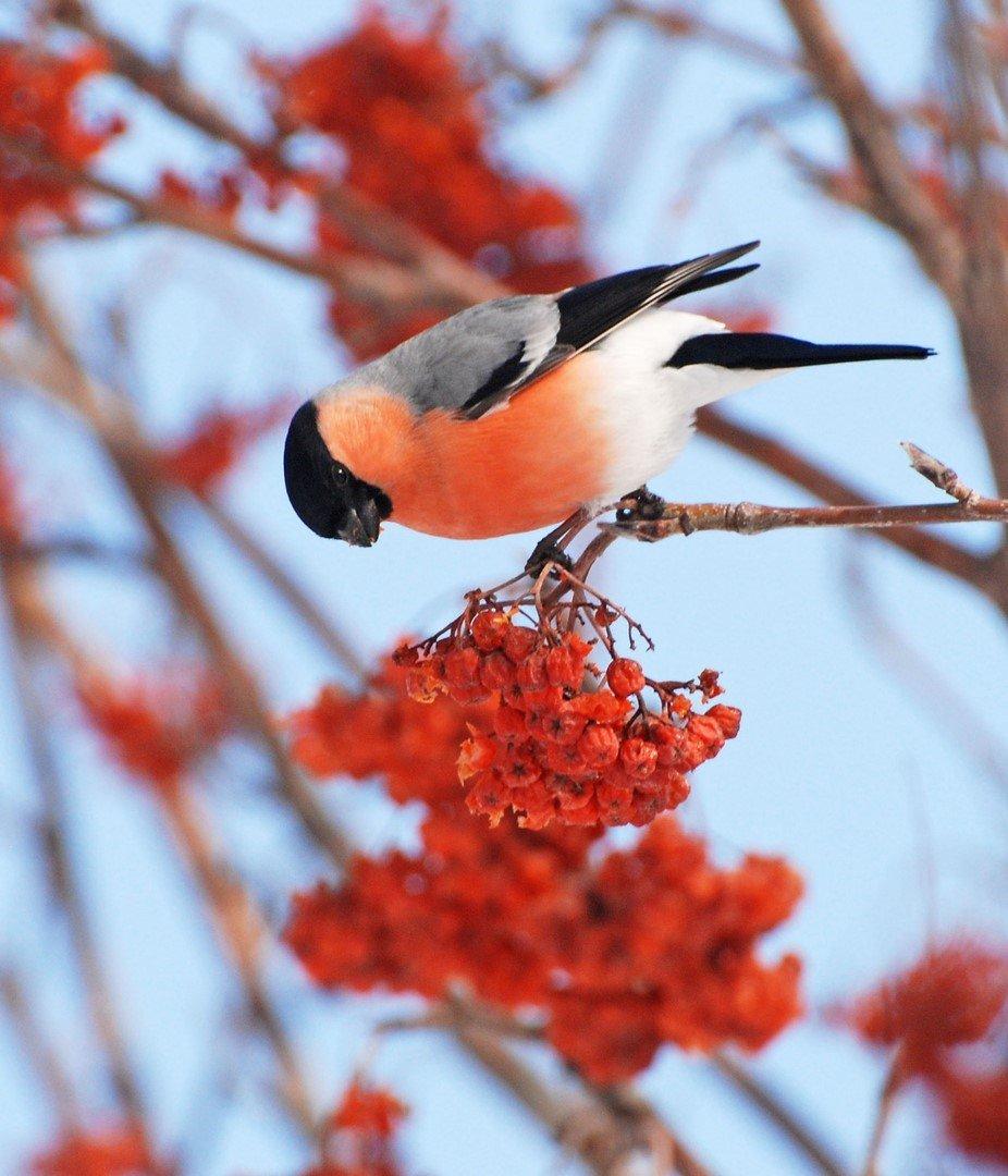 Where bullfinch fly in the spring?