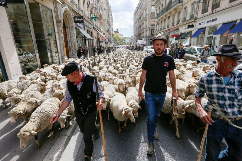 Французские животноводы вышли на протест с тысячей овец