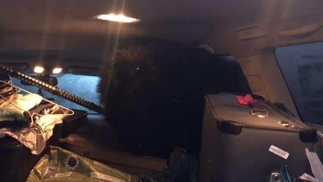 Американка обнаружила в своем автомобиле трех медведей
