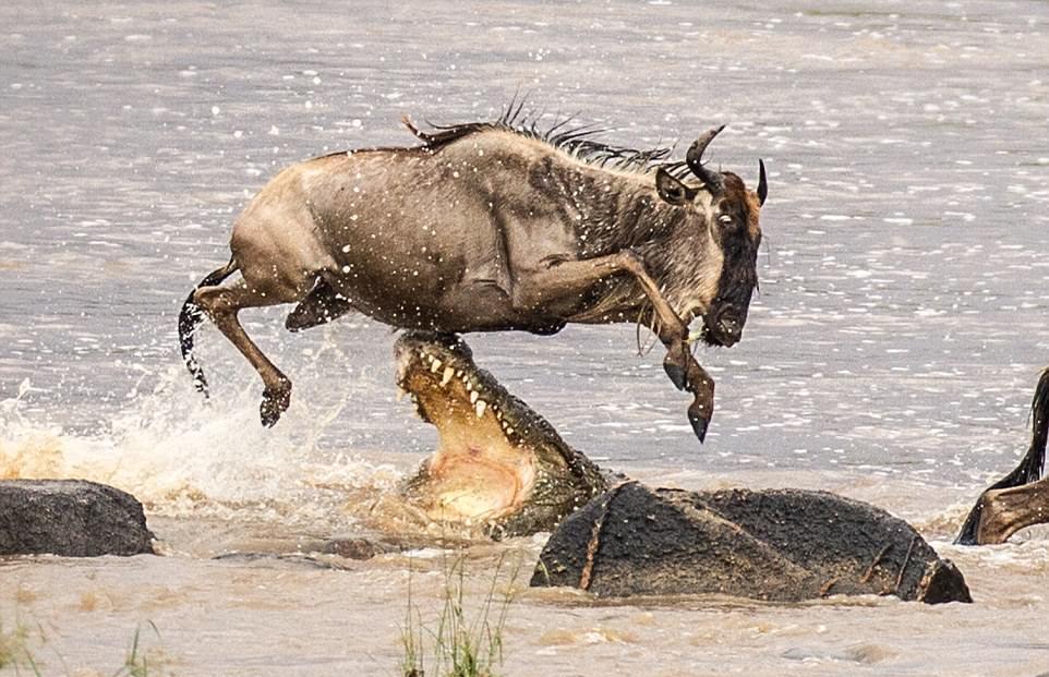 Антилопа гну чудом спаслась от пасти крокодила