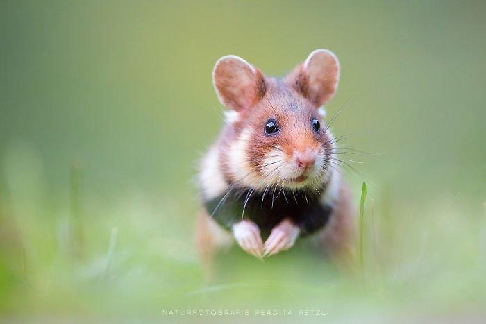 Милые дикие хомячки поднимают настроение