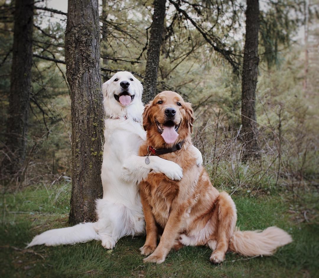 Неразлучные друзья: два золотистых ретривера и кот