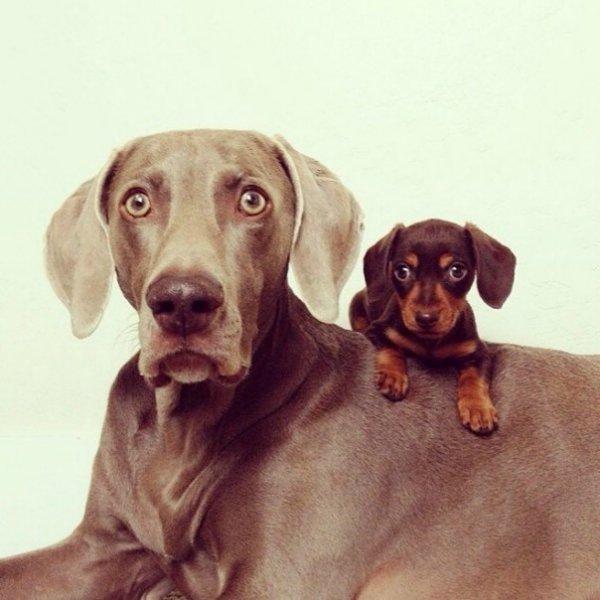 Охотничий пес опекает щенка таксы