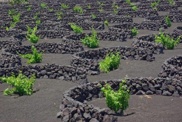 Вулканические камни помогают виноделам острова Лансароте