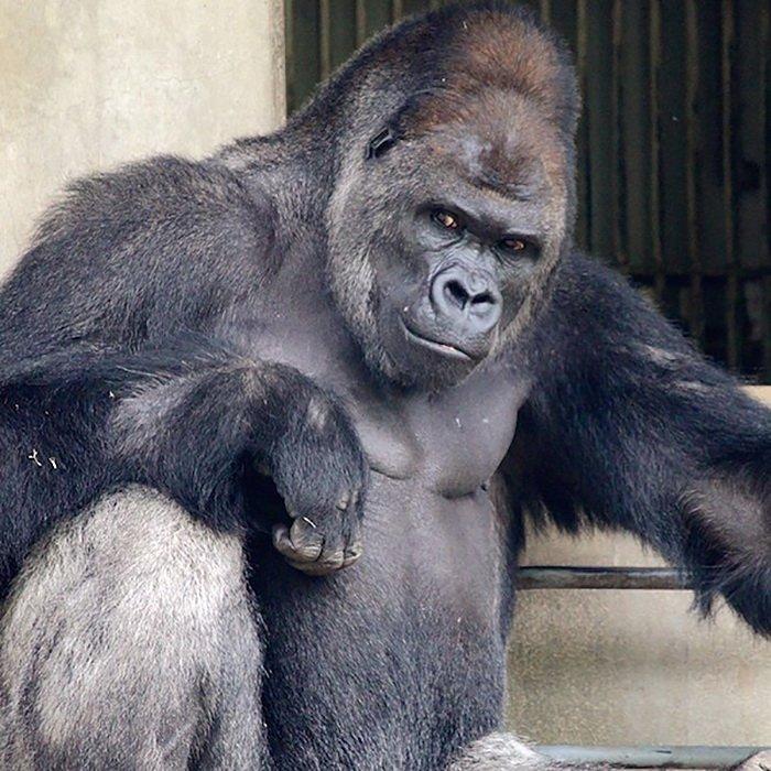 Очаровательный самец гориллы Сабани из зоопарка Хигасияма