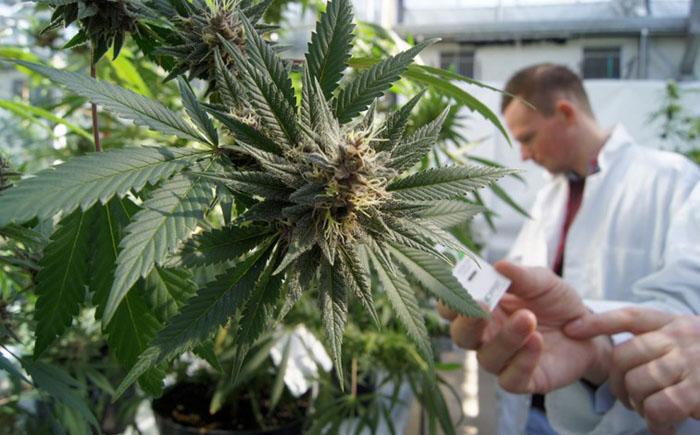 Какие недуги можно вылечить марихуаной