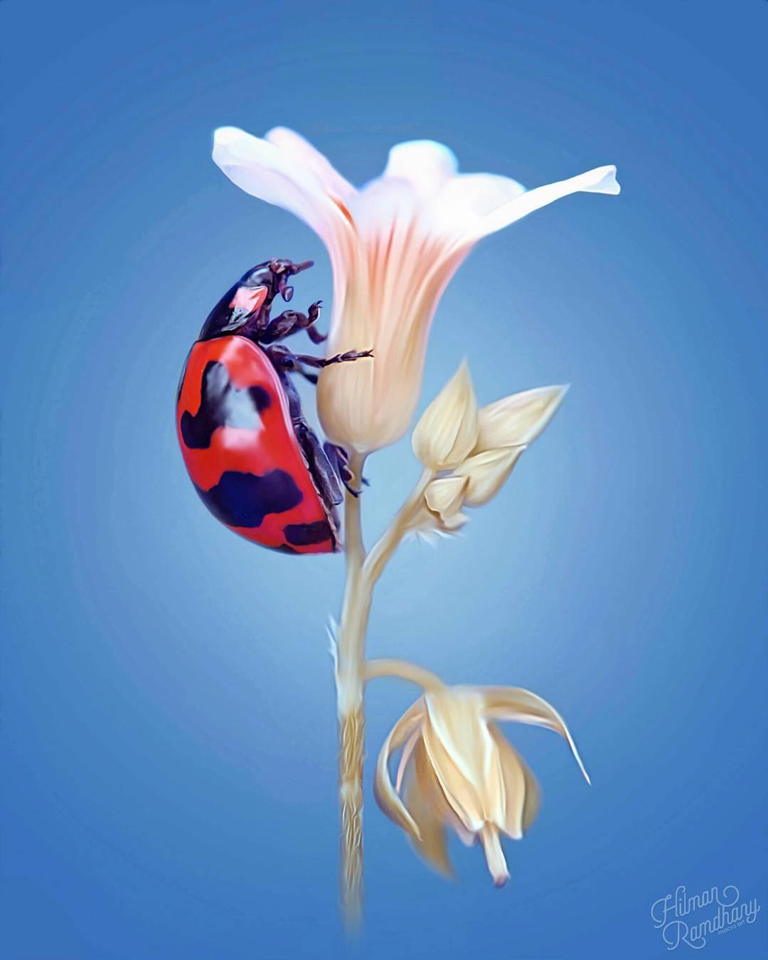 Макрофотографии насекомых от Hilman Ramdhany
