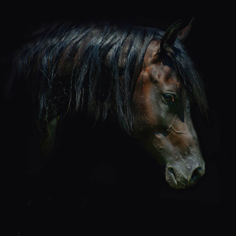 Красота арабских и андалузских лошадей от Войтека Квиатковского
