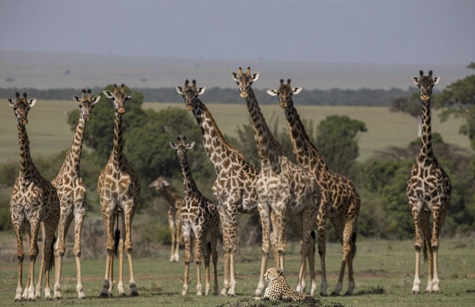 Гепард отдыхает среди жирафов