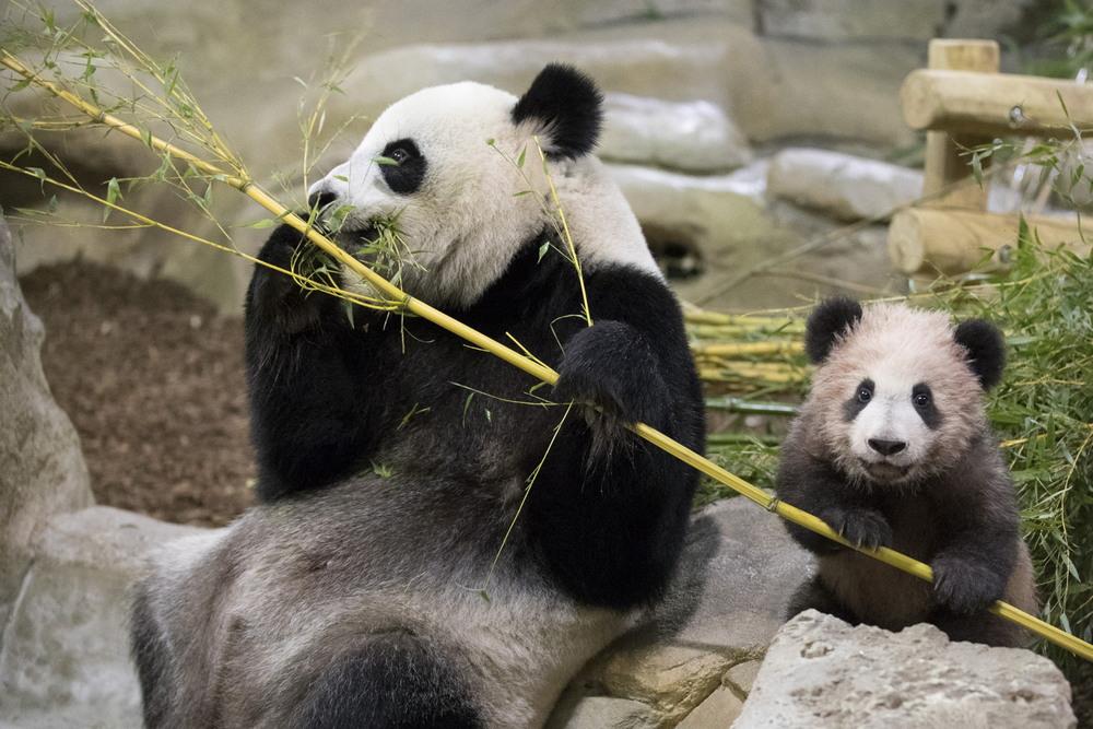 Медвежонок панды во французском зоопарке